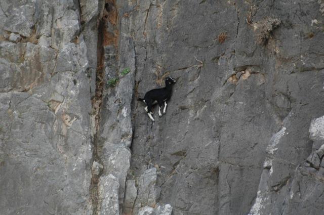Crazy Goats on Cliffs